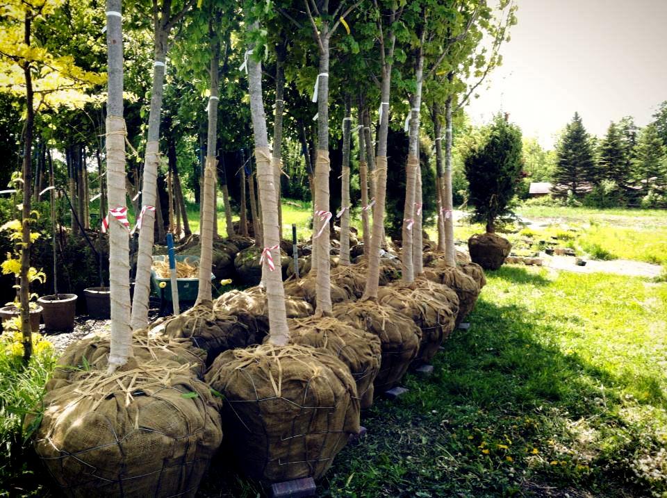 Caliper Tree Planting